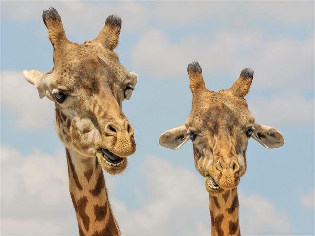 giraffe-901009_640_R