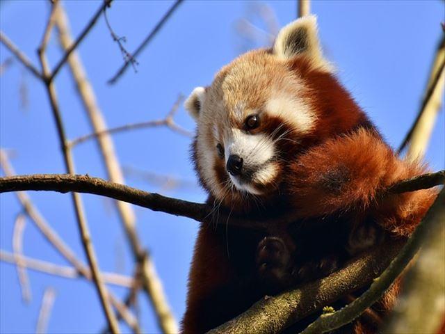 panda-3161290_640_R