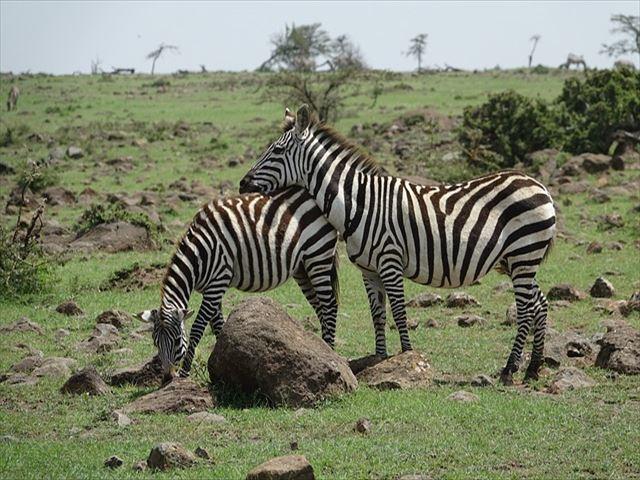 zebra-3151324_640_R